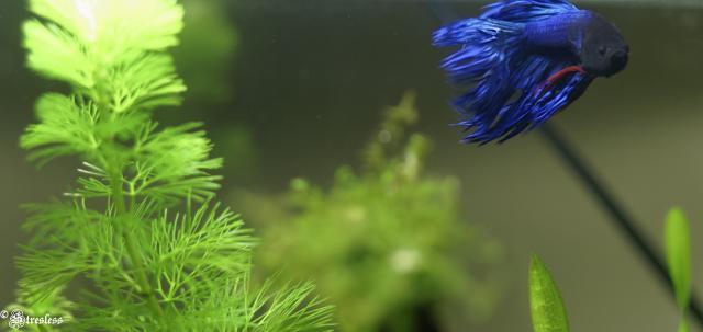 Betta aime les plantes