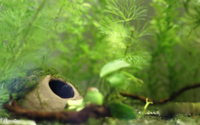 pot en terre dans l'aquarium du poisson combattant
